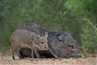 650520331 wild javelinas or collared peccaries dicolytes tajacu forage near a waterhole on santa clara ranch in starr county rio grande valley texas united states