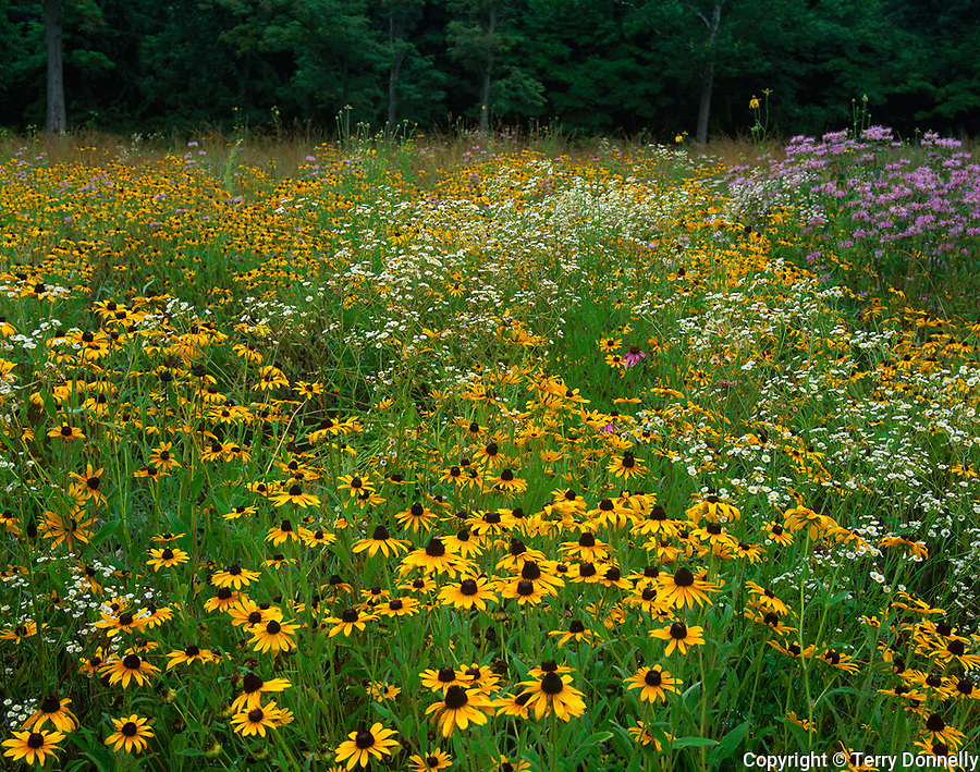 Jefferson County, WV<br /> Black-eyed Susan (Rudbeckia hirta), mayweed (Anthemis cotula), and wild bergamont (Monarda fistulosa) blooming in an open field in summer