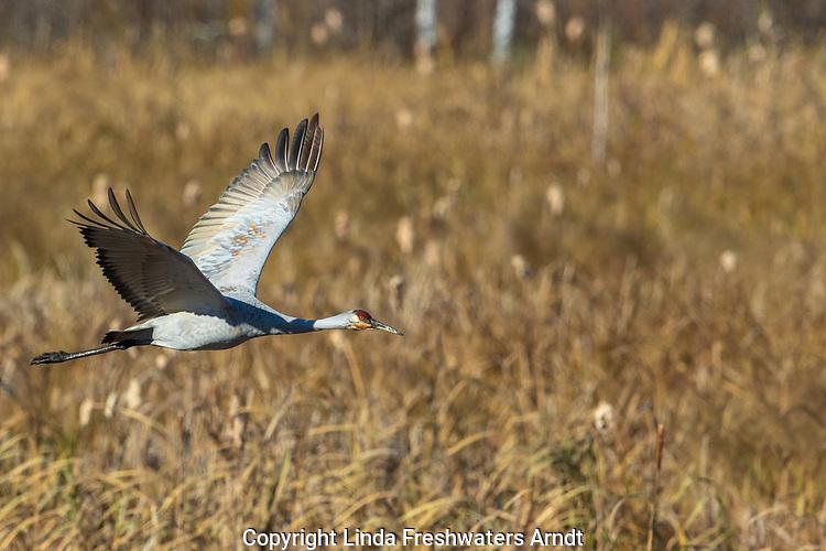 Sandhill crane flying over Crex Meadows Wildlife Area.
