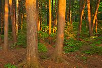 Lsst light on pine trees on shore of Killarney  Lake<br />Killarney Provincial Park<br />Ontario<br />Canada