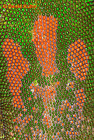 1001-0803  Close-up of Pattern on Back of Gold Dust Day Gecko, Phelsuma laticauda © David Kuhn/Dwight Kuhn Photography.