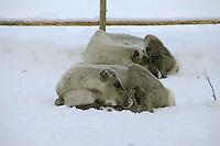 Sleeping reindeer, Yllas, Lapland, Finland....Copyright John Eveson 01995 61280.j.r.eveson@btinternet.com