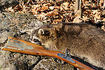 Raccoon with antique rifle