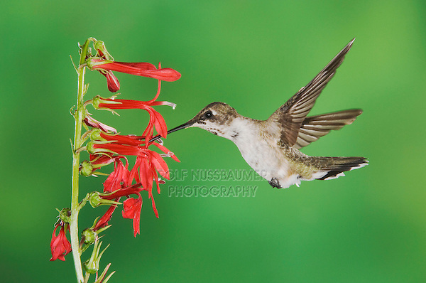 Black-chinned Hummingbird, Archilochus alexandri, immature male feeding on Cardinal Flower (Lobelia cardinalis),Tucson, Arizona, USA, September 2006