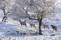 Sheep in snow, Dinkling Green, Whitewell, Lancashire.