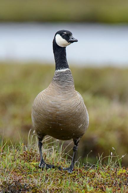 Male Cackling Goose (Branta hutchinsii minima). Yukon Delta National Wildlife Refuge, Alaska. June.