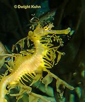 TP10-520z  Leafy Sea Dragon, Phycodurus equus or Phycodurus eques