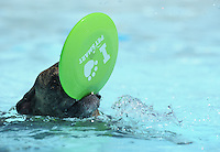 NWA Media/ANDY SHUPE - A dog plays with a flying disc during the second Soggy Doggy Swim Party Saturday, Aug. 23, 2014, at the Prairie Grove Aquatic Park. The Friends of the Prairie Grove Pound hosted the event as a fundraiser for the facility. Visit nwamedia.photoshelter.com to see more photographs.