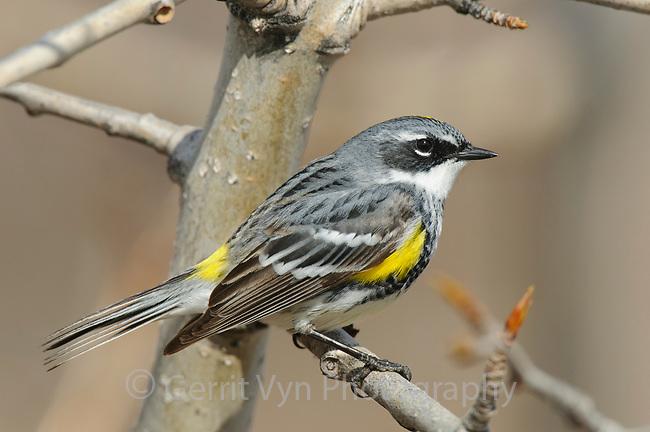 "Adult male ""Myrtle"" Yellow-rumped Warbler in breeding plumage. Seward Peninsula, Alaska. May."