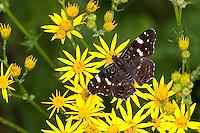 Landkärtchen, Sommer-Generation, 2. Generation, Blütenbesuch auf Jakobs-Greiskraut, Jakobsgreiskraut, Greiskraut, Senecio jacobaea, Araschnia levana, map butterfly