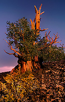 730252040 a spectacular ancient bristlecone pine tree pinus longeava clings to a rocky hillside above 10,000 feet with sub-alpine wildflowers blooming at its base in the ancient bristlecone pine forest protected area in the white mountains of central california near big pine