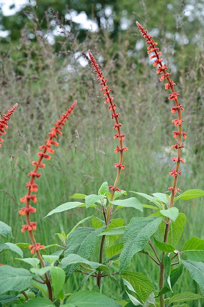 Salvia Confertiflora