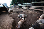 September 13, 2007, Louisburg, NC..Hogs rest in the mud pit within their large pen to avoid the heat of the day. They will wander the pen, eating vegetation for large parts of the day.