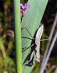 Praying Mantis on the stalk of a Cattail in the Esopus Bend Nature Preserve, in Saugerties, NY, on Thursday, September 7, 2017. Photo by Jim Peppler. Copyright/Jim Peppler-2017.