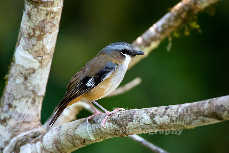 Grey-headed robin (Heteromyias cinereifrons) is a species of bird in the family Petroicidae. It is found in northeastern Cape York Peninsula. Mount Hypipamee National Park - Far North Queensland, Australia.