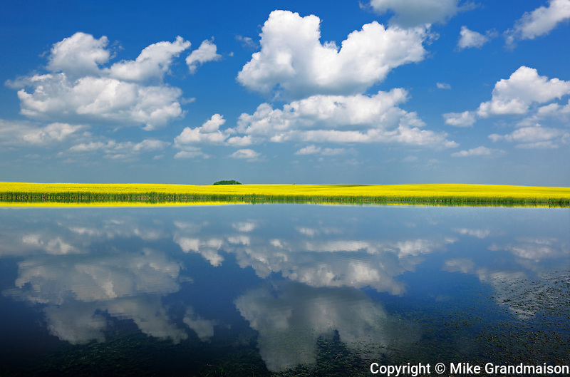 CLouds reflected in prairie slough with canola crop<br /> Near Wynyard<br /> Saskatchewan<br /> Canada