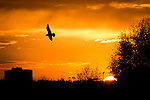 © Joel Goodman - 07973 332324 . No syndication permitted . 21/11/2013 . Manchester , UK . A single bird silhouetted against a fiery orange sunset over the River Irwell on the border between the two cities of Salford and Manchester , this evening ( Thursday 21st November 2013 ) .  Photo credit : Joel Goodman