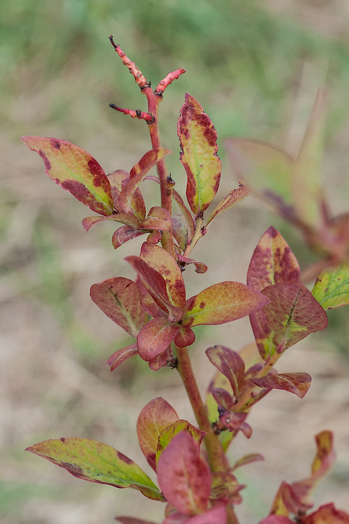 A blueberry bush, which needs acid soil, struggling in an alkaline soil. Leaves are turning yellow and red.