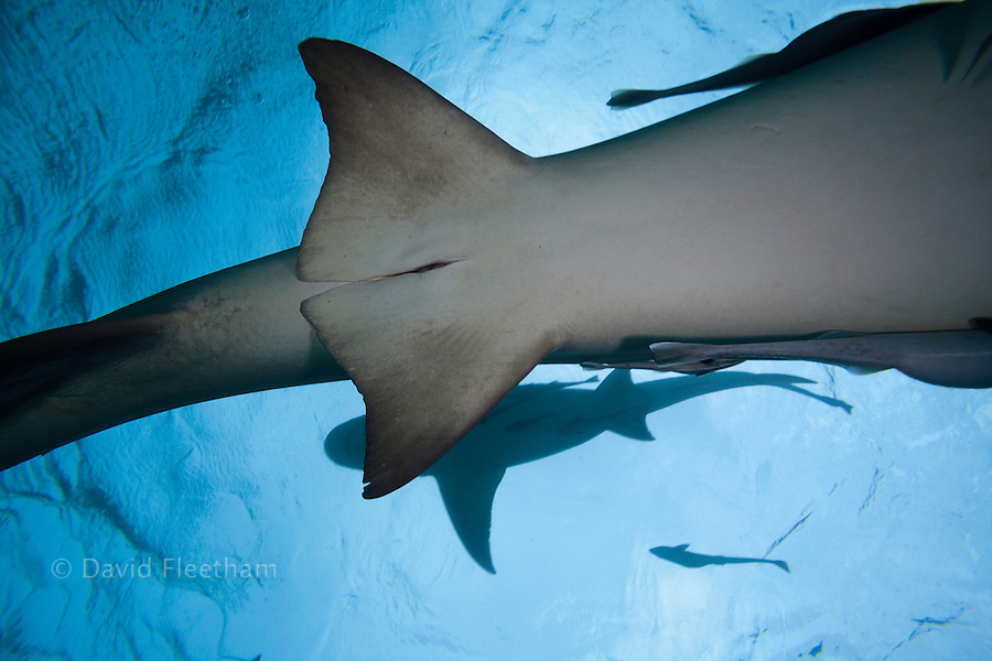 A female lemon shark, Negaprion brevirostris, showing the cloaca slit, underwater with remoras, West End, Grand Bahamas, Atlantic Ocean.