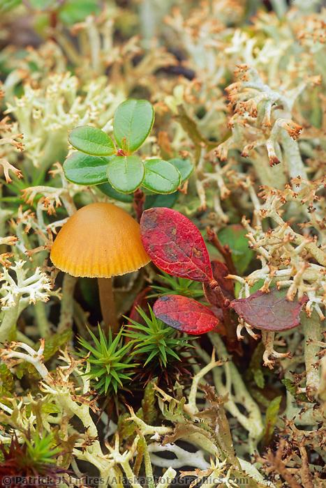 Mushroom and tundra vegetation, Denali National Park, Alaska