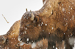 Bison Tasting Snow, Tangled Creek, Yellowstone National Park, Wyoming