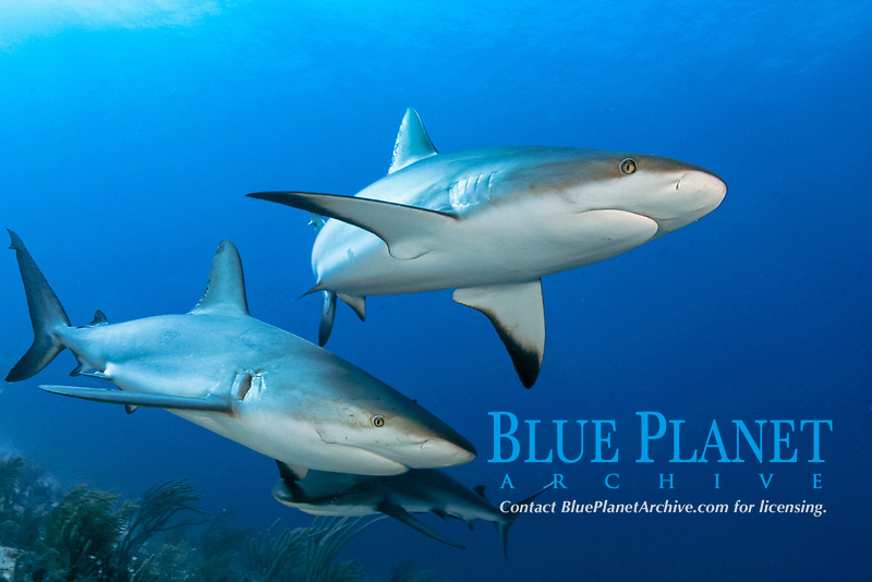 These Caribbean Reef Sharks, Carcharhinus perezii, were attracted to Mr. Fleetham's camera with the use of bait. Sharks are generally shy, cautious creatures and extremely difficult to capture on film. Bahamas.