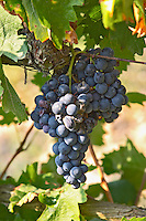 Tempranillo grape bunch. Albet i Noya. Penedes Catalonia Spain