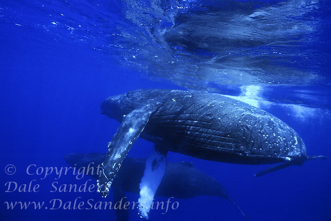 Humbpack Whales (Megaptera novaeangliae) underwater in the North Pacific Ocean.