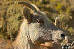 Bighorn Sheep, Female, Close Portrait, Gardner Canyon, North Entrance, Yellowstone National Park, Wyoming