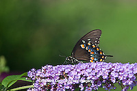 03029-013.04 Spicebush Swallowtail Butterfly (Papilio troilus) on Butterfly Bush (Buddleia davidii) Marion Co., IL