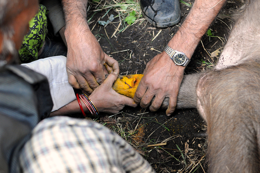 The buffalo's open compound fracture. Traction is applied, turmeric - yes, the spice - is poured over the wound, and the bone is realigned.