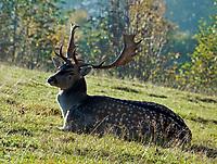 DEU, Deutschland, Bayern, Niederbayern, Naturpark Bayerischer Wald, Herbstlandschaft, maennlicher Damhirsch (Dama dama) | DEU, Germany, Bavaria, Lower-Bavaria, Nature Park Bavarian Forest, autumn landscape, male fallow deer (Dama dama)