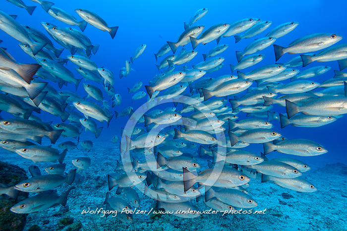 Schnapper (Lutjanus aratus), Schule von Fischen, Insel Cocos, Costa Rica, Pazifik, Pazifischer Ozean / Mullet Snapper (Lutjanus aratus), School of snappers, School of fish, Cocos Island, Costa Rica, Pacific Ocean