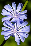 Chicory (Chicorium Intybus), Coast mountain range, Oregon