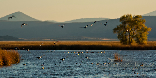 Birds in Lower Klamath Lake, Lower Klamath National Wildlife Refuge, California