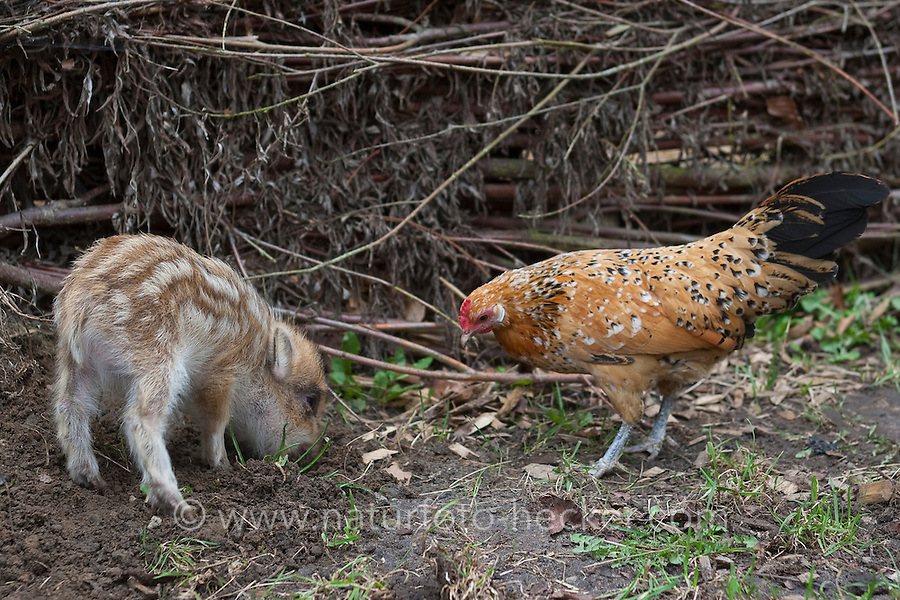 Wildschwein, verwaistes, pflegebedürftiges, in Menschenhand gepflegtes, zahmes Jungtier wühlt im Garten, ein Huhn, Zwerghuhn  ist dabei und achtet auf freigewühlte Nahrung, pickt, wird in menschlicher Obhut großgezogen, Jungtier wird von Hand aufgezogen, Aufzucht eines Wildtieres, Wild-Schwein, Schwarzwild, Schwarz-Wild, Frischling, Junges, Jungtier, Tierkind, Tierbaby, Tierbabies, Schwein, Sus scrofa, wild boar, pig