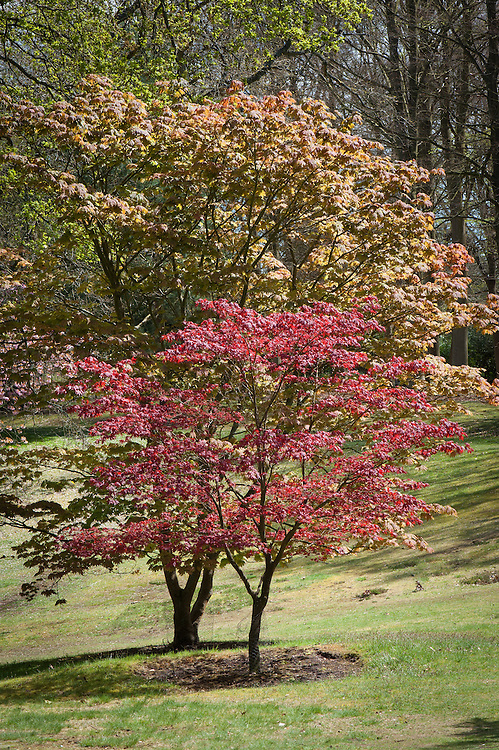 Acer palmatum in front of Acer japonicum, late April.