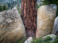 Ponderosa Pine tree growing between two granite boulders. Lake Tahoe, California