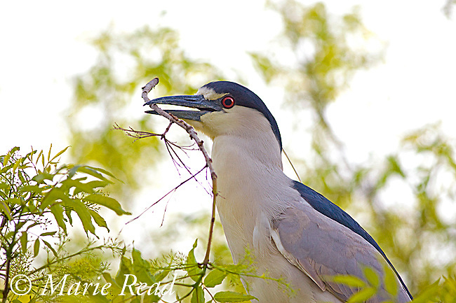 Black-crowned Night-Heron (Nycticorax nycticorax), gathering leafy stick as nest material, California, USA