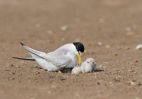 Least Tern (Sterna antillarum), adult warming newborn chicks, Port Isabel, Laguna Madre, South Padre Island, Texas, USA