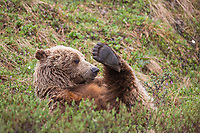 Grizzly bear on the springtime tundra rolls around in the grass to scratch its back with paws in the air, Denali National park, Alaska.