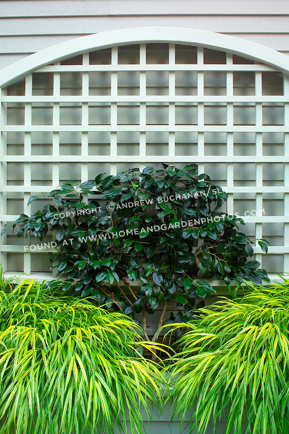 A garden vignette photo of paired Japanese Hakone grasses on either side of a dark green leafed camelia, backed by an arched trellis against the side of a house.