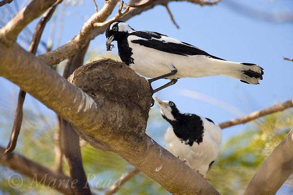 Magpie-lark (Grallina cyanoleuca), pair at their mud nest, male with food in its bill, near Mossman, Queensland, Australia.