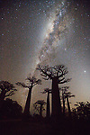 Milky Way over baobabs (Adansonia grandidieri), Madagascar <br /> <br /> Canon EOS-1Ds Mark II, EF16-35mm f/2.8 lens, f/2.8 for 30 seconds, ISO 800