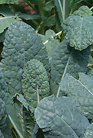 Kale Lacinato blue vegetable leaves, Brassica 'Lacinato', Tuscan Kale aka Toscano or Dinosaur Kale, closeup of foliage leaves