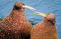 Pacific walruses, Odobenus rosmarus divergens, standing face-to-face threatening each other, Bering Sea, Alaska, USA, Pacific Ocean