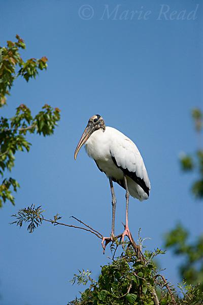 Wood Stork (Mycteria americana), Lake Marian, Florida, USA