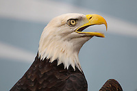 """A bald eagle named """"Noah"""" perches on the field during a game against the Washington Redskins at Lincoln Financial Field on September 21, 2014 in Philadelphia, Pennsylvania. The Eagles won 37-34. (Photo by Hunter Martin/Philadelphia Eagles"""