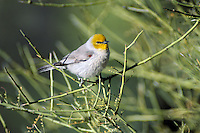 Verdin (Auriparus flaviceps).  Sonoran Desert, Arizona.  April.