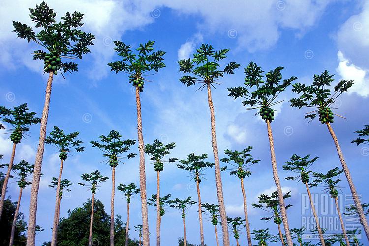 A grove of papaya trees on the Kona side of the Big Island of Hawaii